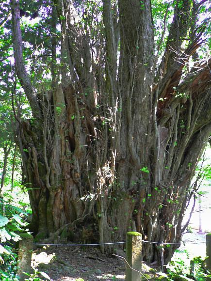 カツラ (植物)の画像 p1_31