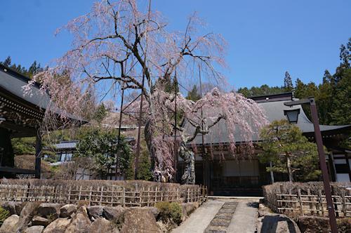 宝蓮寺の枝垂れ桜 ●「飛騨・美濃さくら33選の地」の標識が立っている「薬師堂の枝垂れ桜」。 ●残