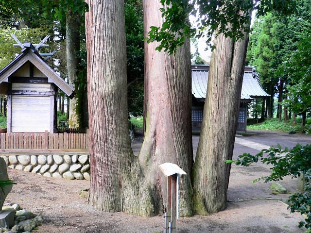京都一棵杉树高度达62.3米 被认定为日本国内第一高