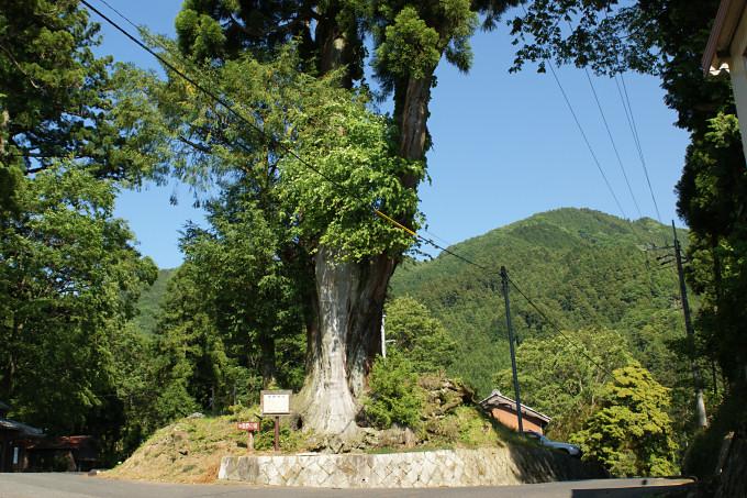 熊野神社のタコ杉 ●タコ杉の名の通りの足が上を向いたタコの形です。  熊野神社のタコ杉