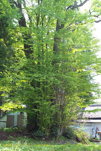 カツラ (植物)の画像 p1_24