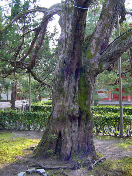 大徳寺のイブキ ●京都市の天然記念物に指定されています。  東福寺と大徳寺のイブキ