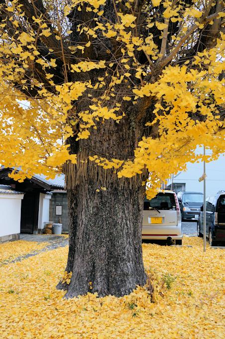 慧光寺のイチョウ ●黄葉の盛期には遅かったようで、イチョウの木の上の方はほとんど葉が散っ...