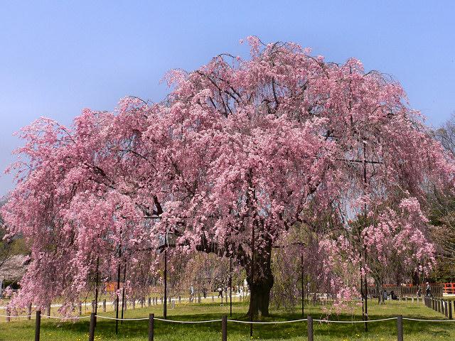 http://www.tree-flower.jp/26/kamigamojinja_223/kamigamo_saiou_1.jpg