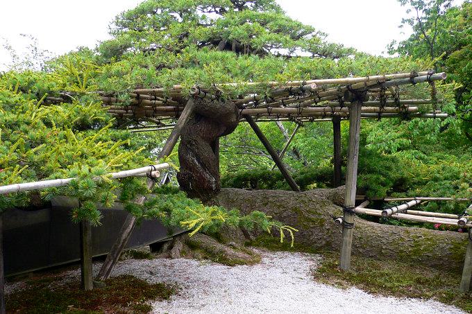 善峯寺の遊龍の松