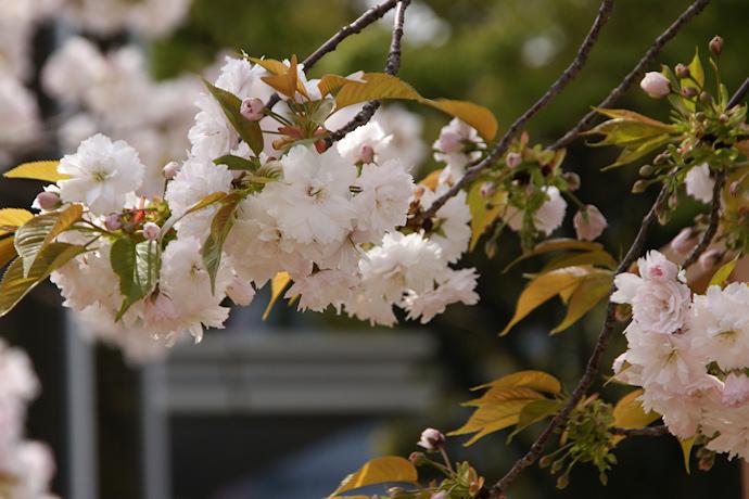 造幣局の桜の通り抜け(4)