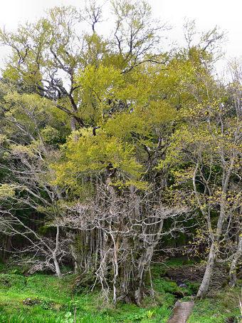 カツラ (植物)の画像 p1_23
