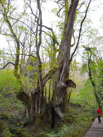 カツラ (植物)の画像 p1_19