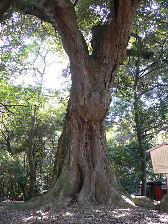 春日大社境内のイチイガシ巨樹群