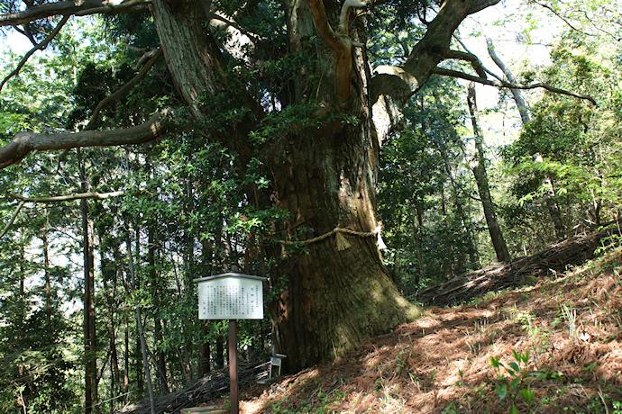 神野寺の天狗杉