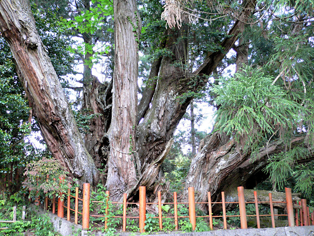 桜実神社の八ツ房杉