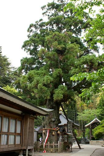 極楽寺の大杉